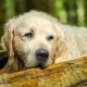 alten Golden Retriever pflegen